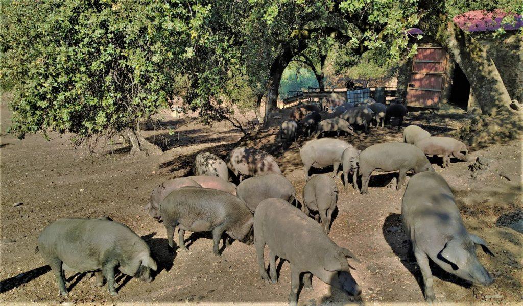 cerdo ibérico dehesa uso del corcho