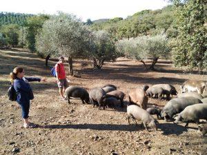 Feeding Iberian pigs iberian ham Seville hiking tours Cadiz
